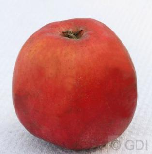Apfelbaum Roter Astrachan 60-80cm - saftig und würzig