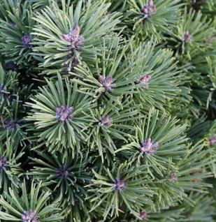 Runde Bergkiefer Allgäu 50-60cm - Pinus mugo