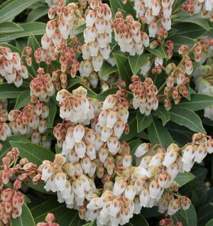 Schattenglöckchen Lavendelheide Forest Flame 60-80cm - Pieris japonica