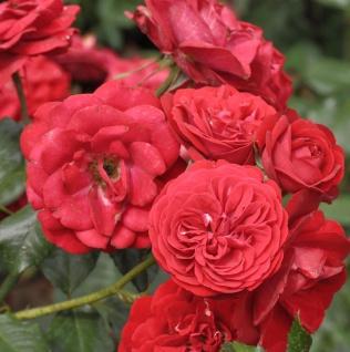 Floribundarose Mariandel 30-60cm