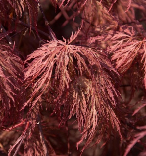 Roter Schlitz Ahorn Stella Rossa 40-60cm - Acer palmatum