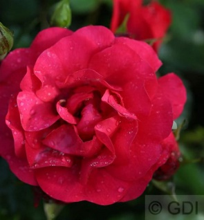Hochstamm Rose Gärtnerfreude® 80-100cm