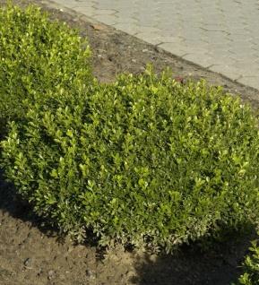 Buchsbaum Herrenhausen 10-15cm - Buxus sempervirens