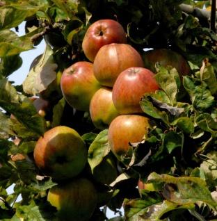 Apfelbaum Geheimrat Oldenburg 60-80cm - saftig und knackig