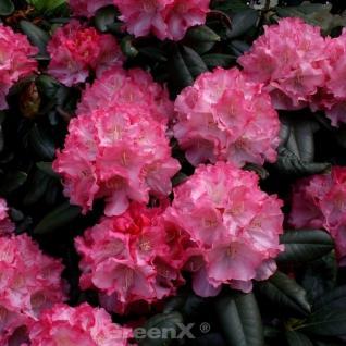 Hochstamm Rhododendron Karminkissen 40-60cm - Alpenrose