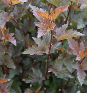 Fasanenspiere Little Joker 80-100cm - Physocarpus opulifolius Midnight