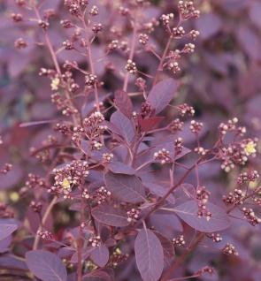 Perückenstrauch Royal Purple 100-125cm - Cotinus coggygria