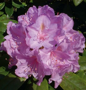Großblumige Rhododendron Catawbiense Boursault 40-50cm - Alpenrose