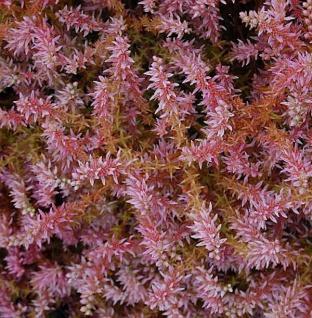 Seesternblume Sea Star - Sedum pulchellum