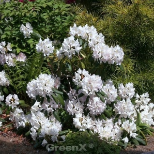 INKARHO - Großblumige Rhododendron Catawbiense Alba 25-30cm - Alpenrose