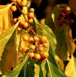 weiblicher Baumwürger Diana 60-80cm - Celastrus orbiculatus