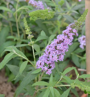 Schmetterlingsstrauch Violet 30-40cm - Buddleja