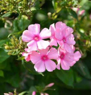Hohe Flammenblume Sommerfreude - Phlox paniculata
