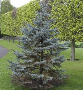 Silberfichte Blaufichte Hoopsii 40-50cm - Picea pungens