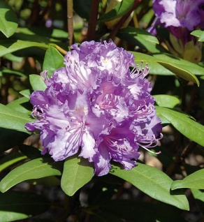 Großblumige Rhododendron Alfred 70-80cm - Alpenrose