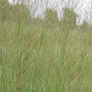 Riesen Pfeifengras Transparent - Molinia arundinacea