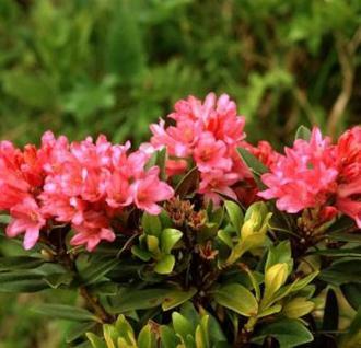 Japanische Azalee Little Red 15-20cm - Rhododendron obtusum - Zwerg Alpenrose