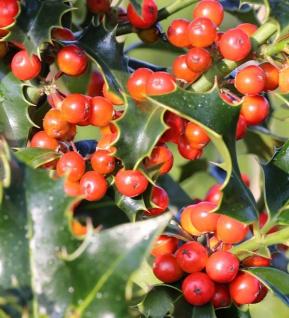 Dornige Stechpalme Ilex 60-80cm - ilex aquifolium