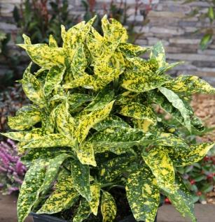 Japanische Aucube Crotonifolia 80-100cm - Aucuba japonica