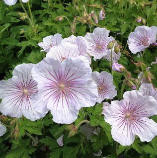 Himalayastorchschnabel Derrick Cook - Geranium himalayense