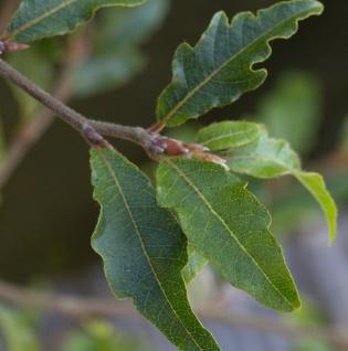 Kleine farnblättrige Buche Sandrode 40-50cm - Fagus sylvatica