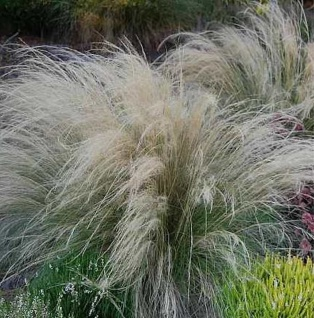 Engelshaargras - großer Topf - Stipa tenuissima