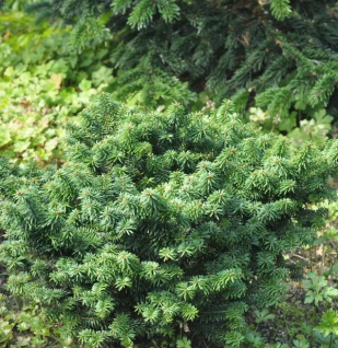Zwerg Balsam Tanne 25-30cm - Abies balsamea