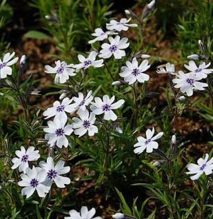Niedrige Flammenblume Bavaria - Phlox subulata