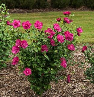 Garteneibisch Magenta Chiffon 30-40cm - Hibiscus