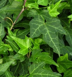 Efeu Green Ripple 40-60cm - Hedera helix