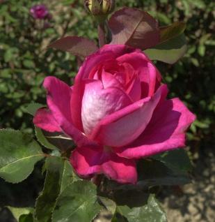 Edelrose Acapella® 30-60cm