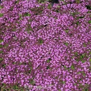Teppich Thymian Purpurteppich - Thymus praecox