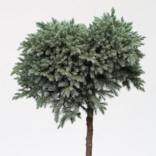Hochstamm Blauer Sternwacholder 40-60cm - Juniperus squamata