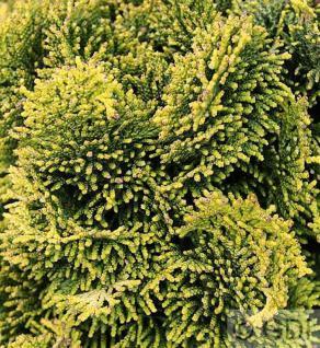 Gelbe Muschelzypresse 15-20cm - Chamaecyparis obtusa