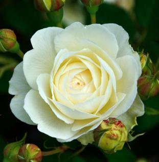 Englische Rose Claire Austin 30-60cm
