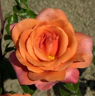 Floribundarose Cherry Brandy 30-60cm