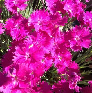 Pingst-Nelke Dinetta Purple - großer Topf - Dianthus cultorum