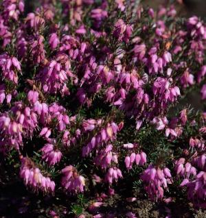 10x Winterheide Rotario - Erica carnea