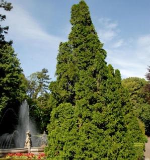 Lebensbaum Pyramidalis Compacta 15-20cm - Thuja occidentalis - Vorschau