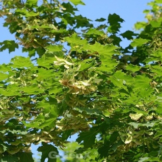 Säulen Spitz-Ahorn Jirka 60-80cm - Acer platanoides