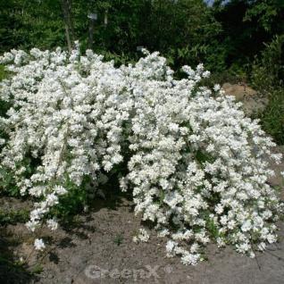 Kleine Prunkspiere Spring Time 80-100cm - Exochorda macrantha