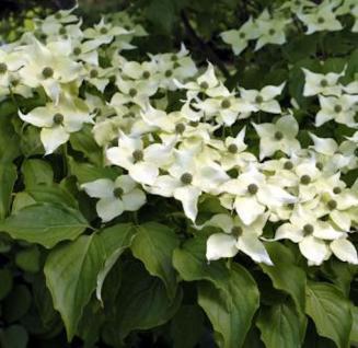 Chinesischer Blumen Hartriegel Eurostar 80-100cm - Cornus kousa