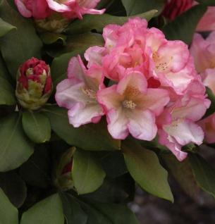 Rhododendron Napoli 30-40cm - Alpenrose