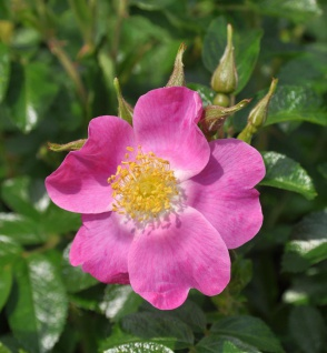Floribundarose Roselina 30-60cm