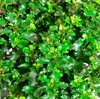 Kugelschnitt Amerikanischer Ilex Little Rascal 40-50cm - Ilex meserveae