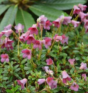 Wildform Rhododendron 15-20cm - Rhododendron campylogynum