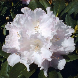 Rhododendron Silberwolke 40-50cm - Alpenrose