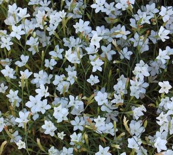 Heidennelke Alba - Dianthus deltoides