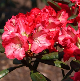 INKARHO - Rhododendron Priscilla 60-70cm - Alpenrose