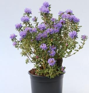 Rhododendron intricatum 30-40cm - Alpenrose